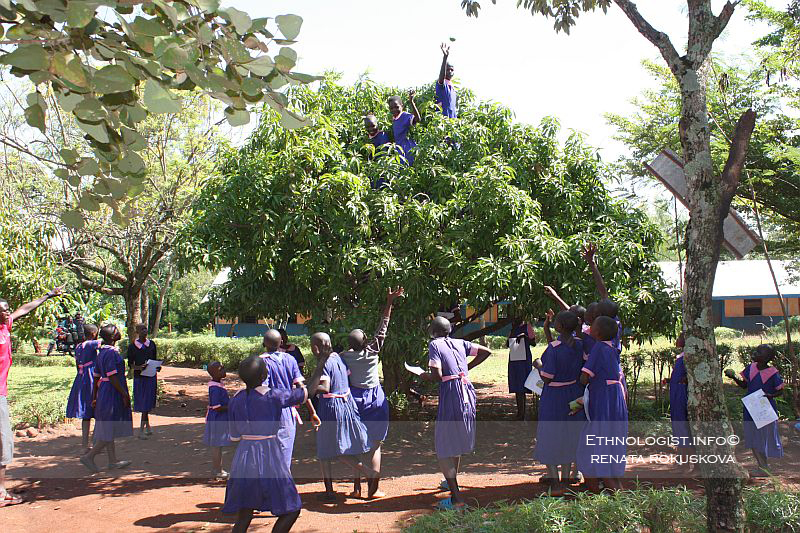 The harvesting of mango in school garden. Photo: Renata Rokuskova