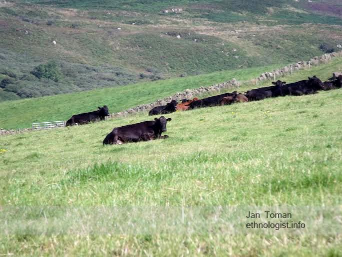 Odpočívající stádo krav v Campbeltownu. Foto: Jan Toman