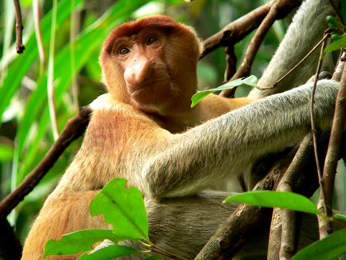 Proboscis monkey, Photo: Petr Colas