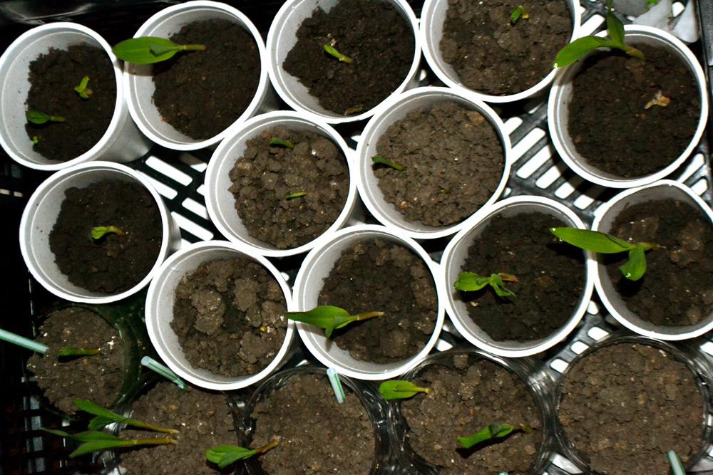 Sazeničky kukuřice ve Vegetce. Foto: Barbora Šajmovičová