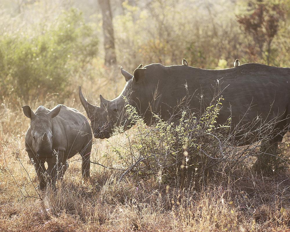 Nosorožci patří mezi kriticky ohrožená zvířata. Foto: CCO Creative Commons (PX)