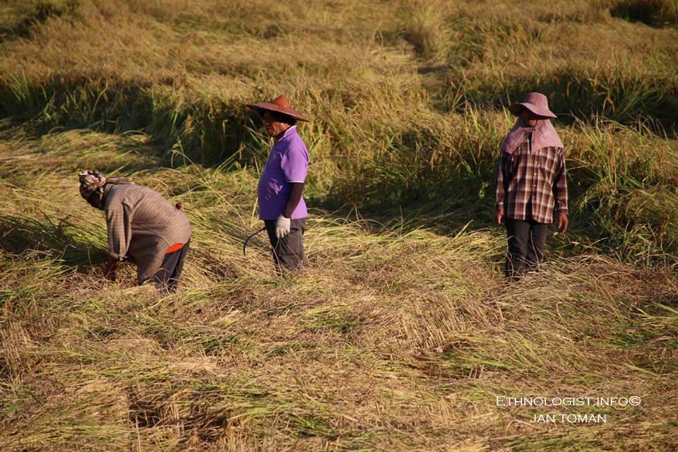Rýžové pole v Pai v Thajsku. Foto: Jan Toman, 2018.