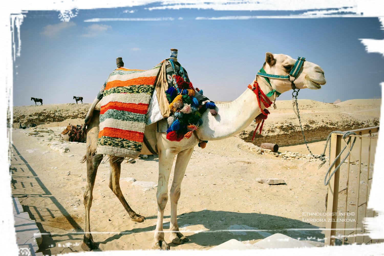 Velbloud, znak arabských zemí a pouští. Foto: Barbora Zelenková, Nikon, Sakkára, 2011.